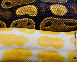 Royal Python Skin Colours Desktop Wallpaper Download