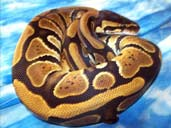 Royal Python coiled in a Ball